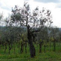 Вилла Гамберайя. Оливковая роща